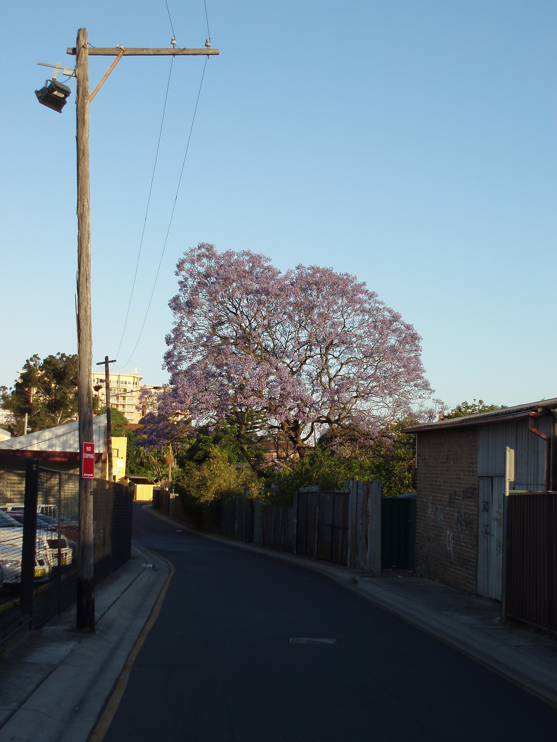 a jacaranda tree flowering in new south wales springtime