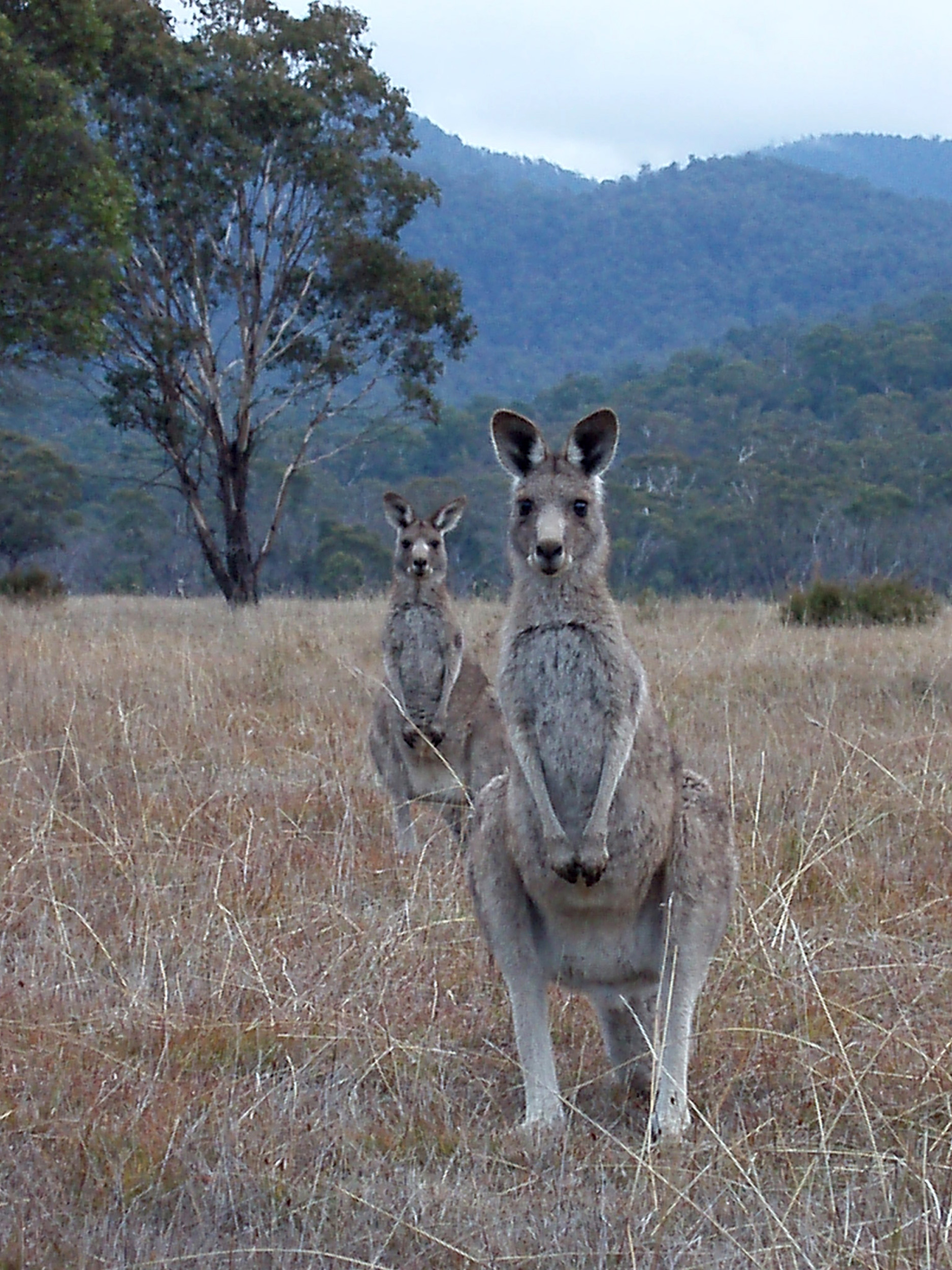 a pair of kangaroos on a grassy plain at dusk