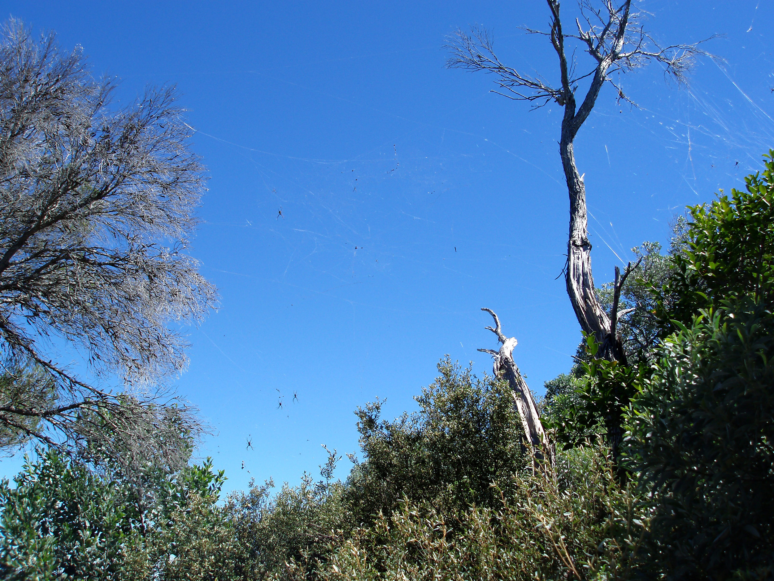 aussie bush with a tangle of spiders webs and st andrews cross spiders