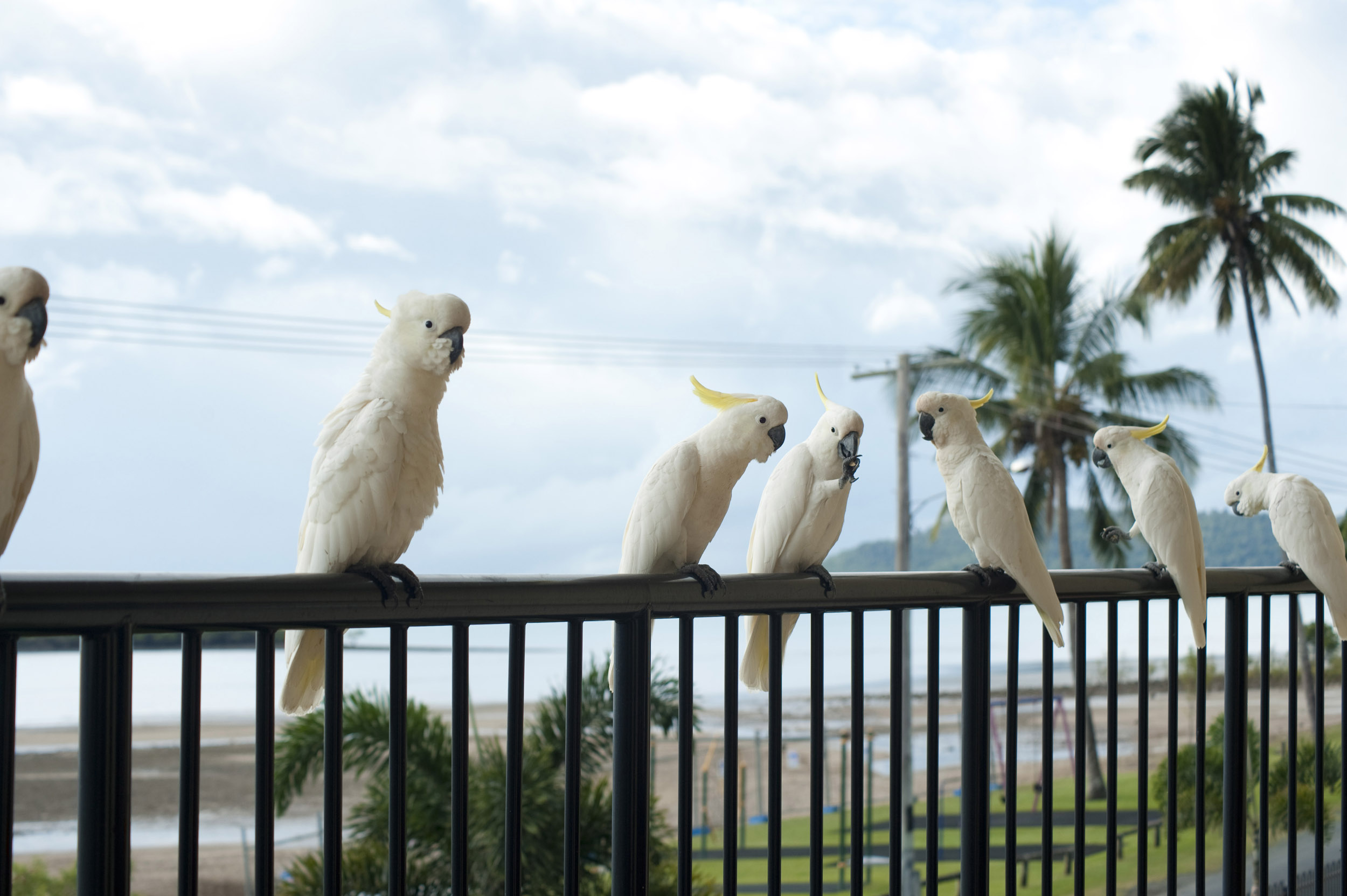a line of sulphur crested cockatoos perched on a balcony railing