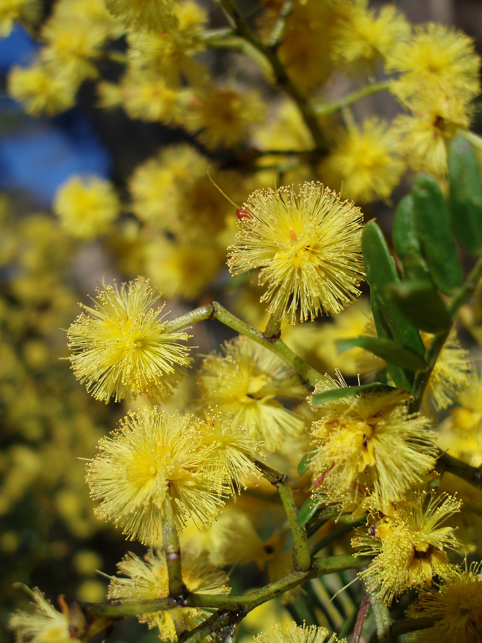 wattle flowers, the gold from 'green and gold'
