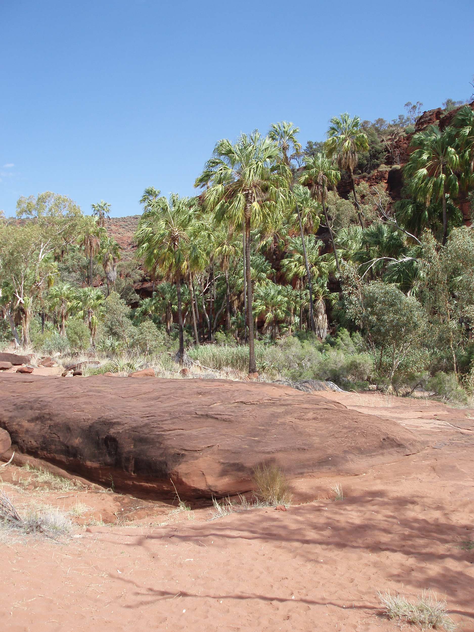 Red sandstone contrasts against cabbage palms growing in the palm valley gorge
