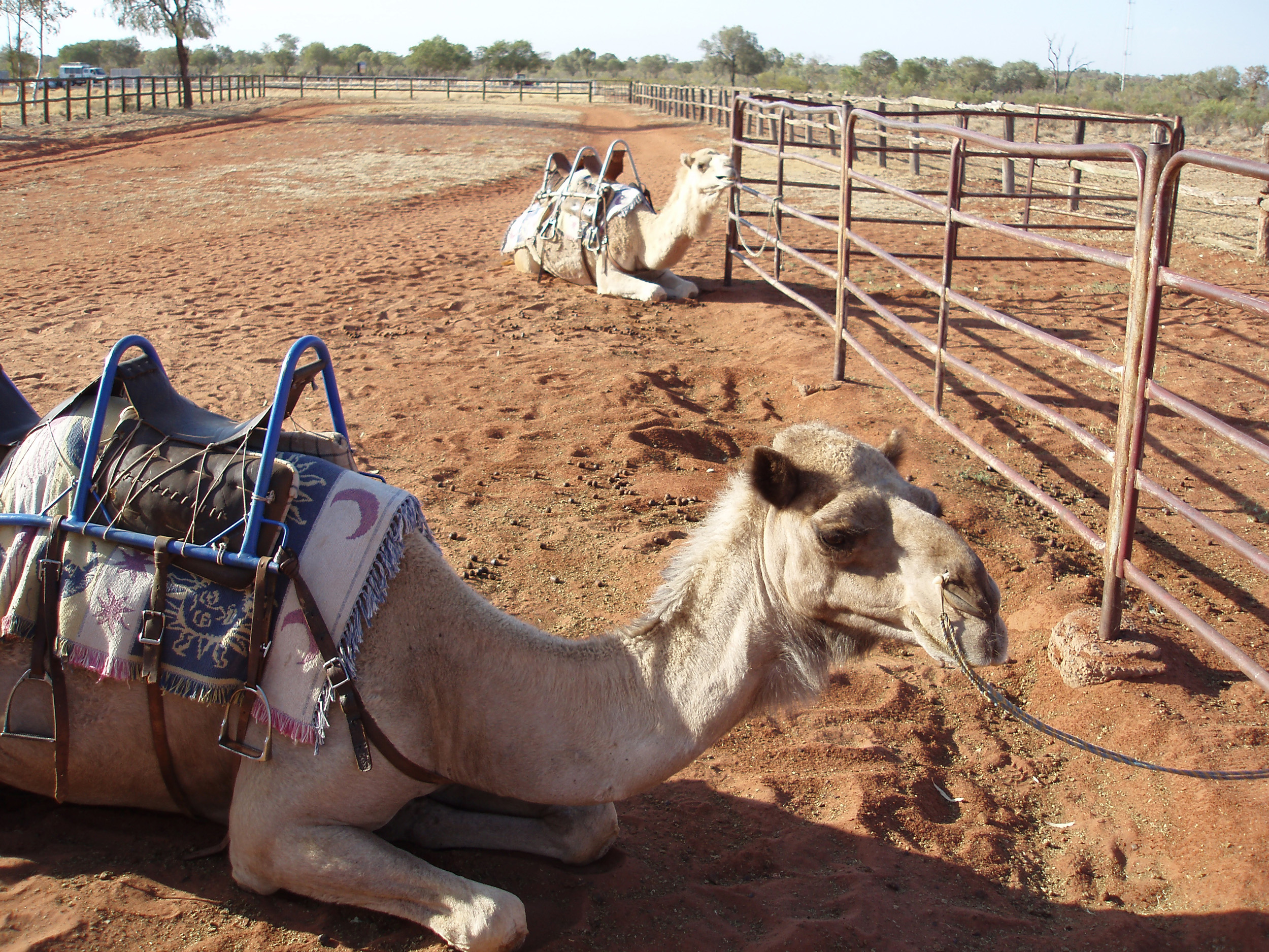 camel rides are a popular tourist attraction in the northern territory