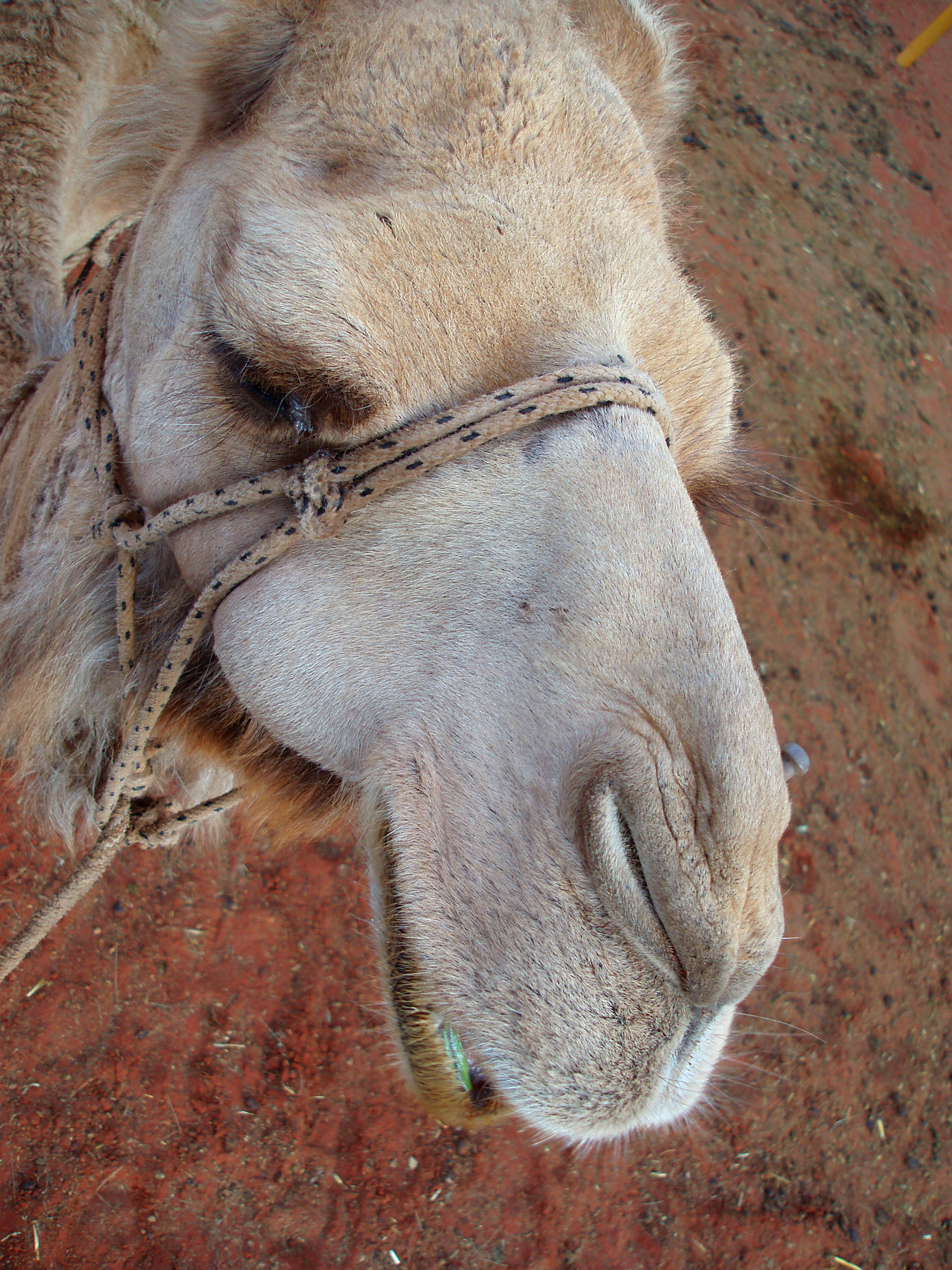 an arabian camel, there are estimated to be at least half a million wild arabian camels in australia