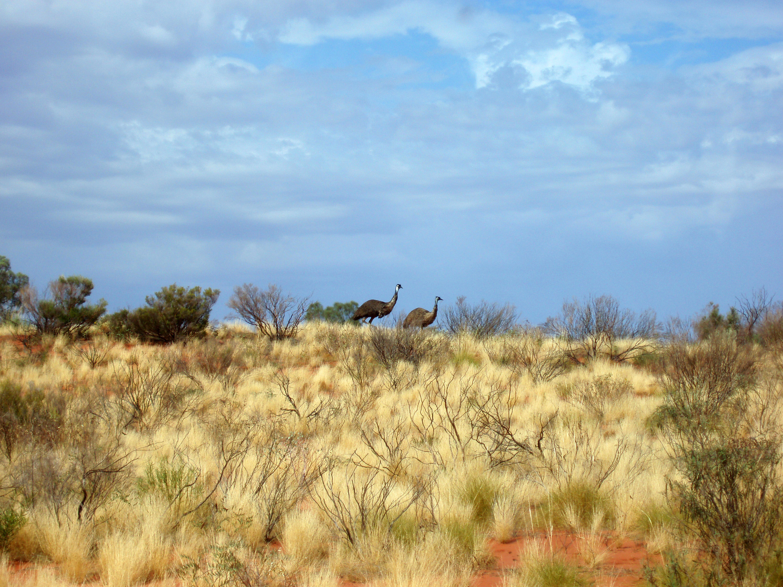 a pair emus in a northern territory landscape