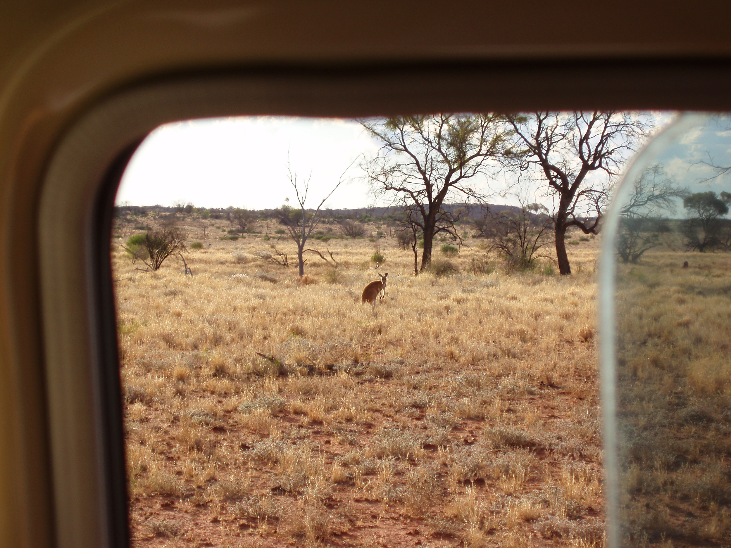 a kangaroo spotted outside the window of a tour 4x4