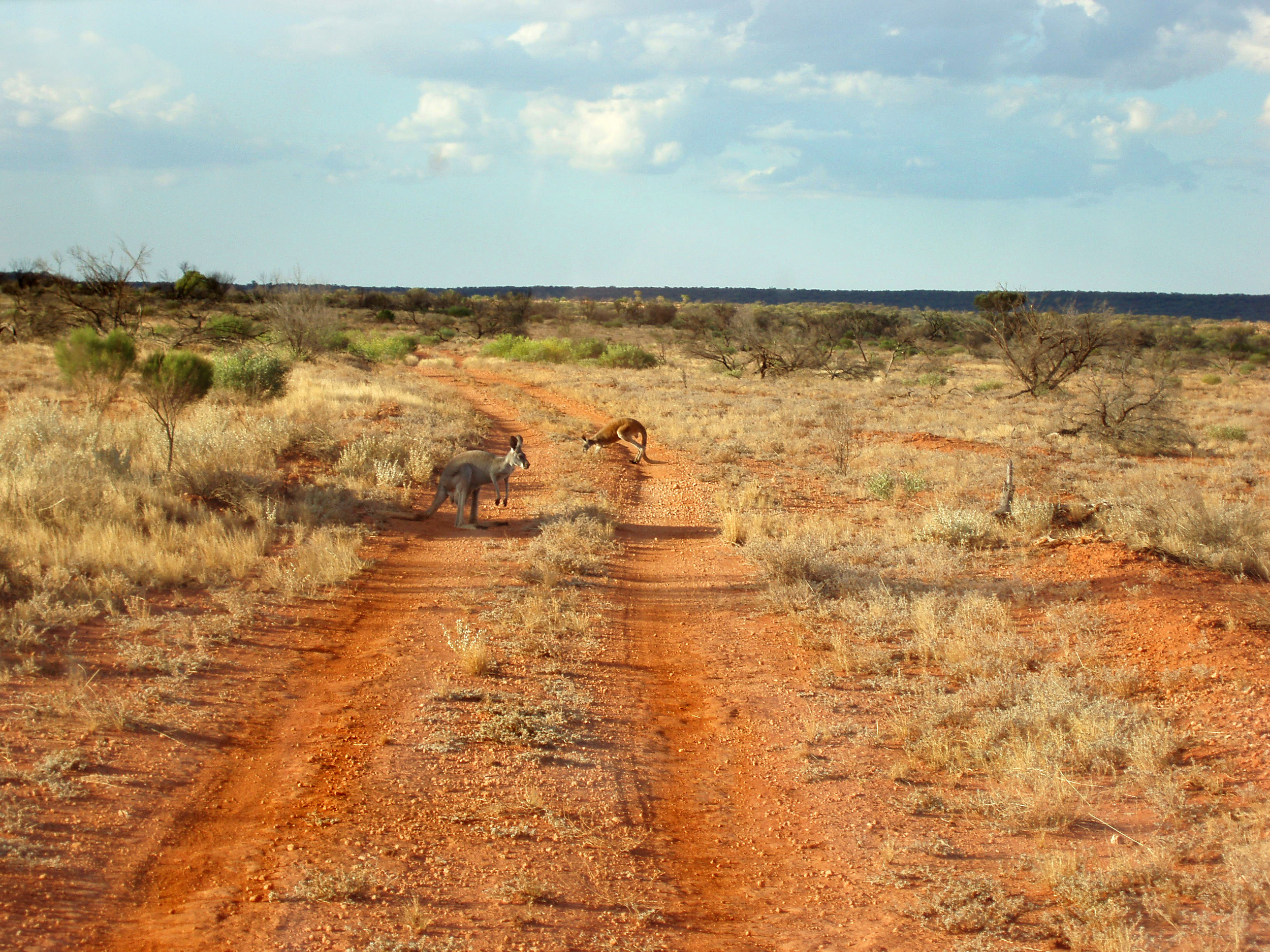 a couple of kangaroos on a remote outback 4x4 track