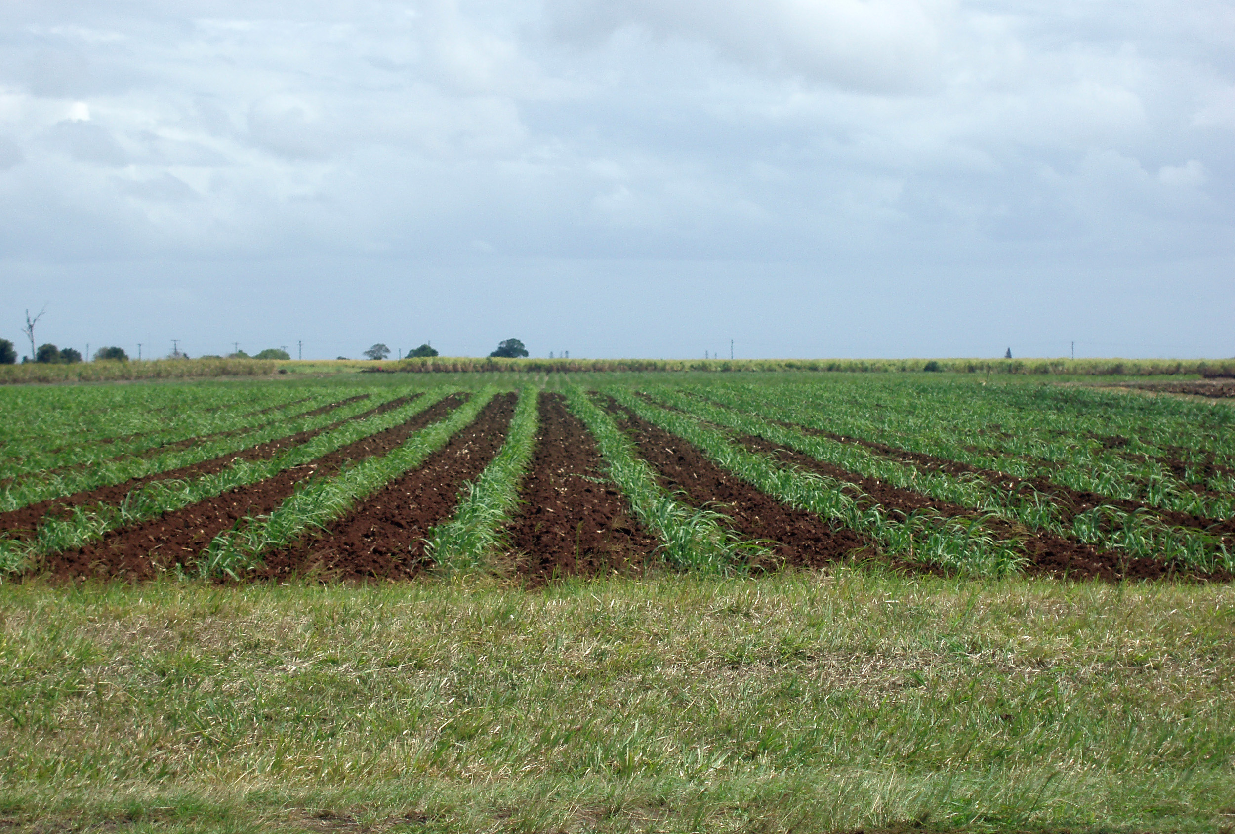 sugar cane seedlings growing near bundaberg