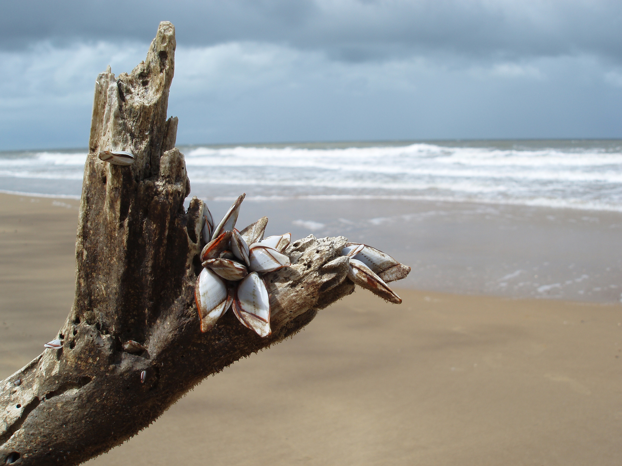 muscles growing on a piece of driftwood washed up on the beach at mission beach, QLD