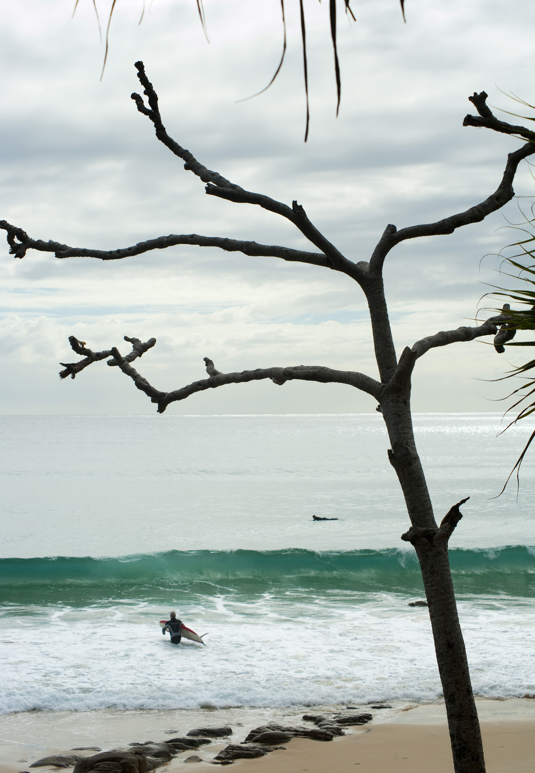 Lone surfer at Noosa beach, Queensland, Australia with a tea tree in the foreground