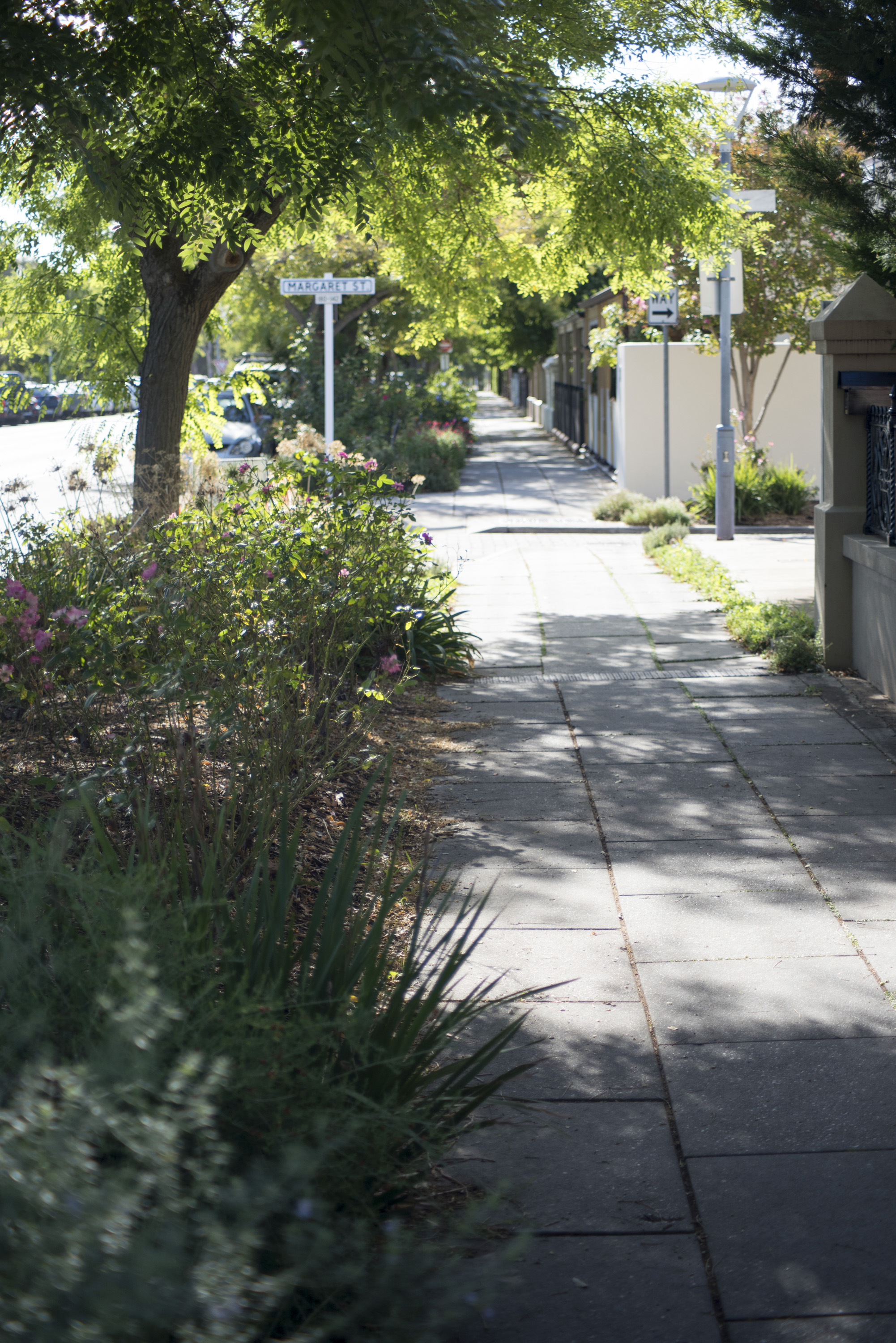 Deserted sidewalk in verdant Adelaide, Australia shaded by leafy green trees with shrubs and flowers