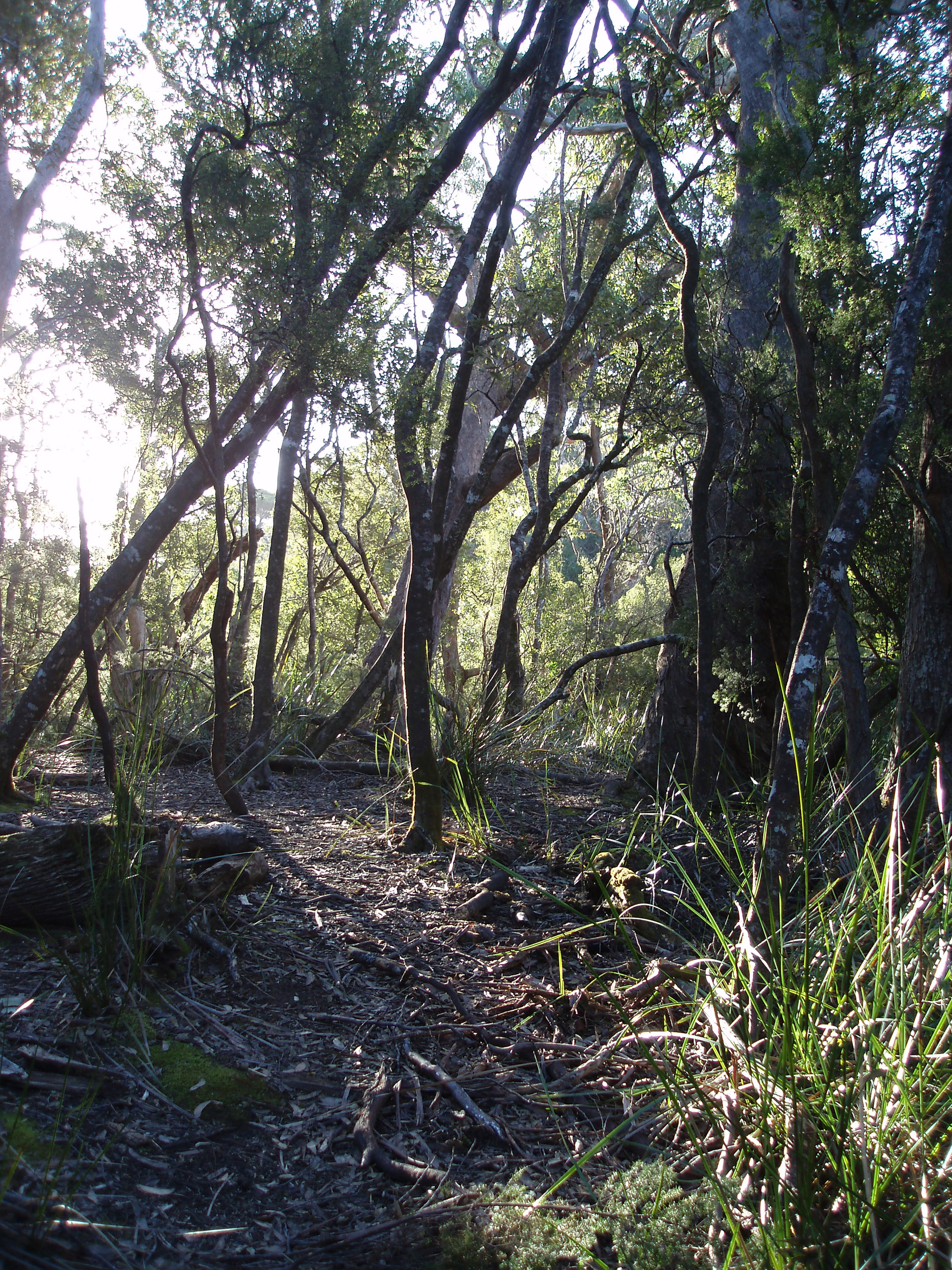 afternoon sun through the trees on a remote bushwalking track in tasmania