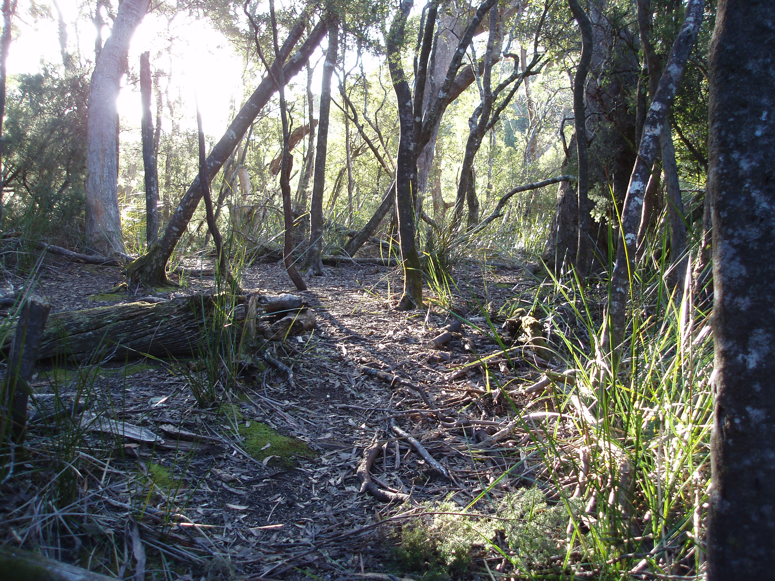sun through the trees on a remote bushwalking track in tasmania