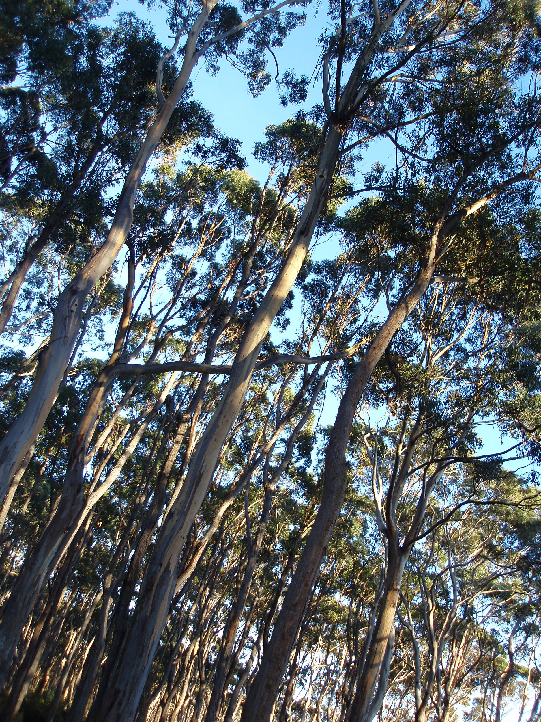 looking up at a forest of gum trees in the tasmanian wilderness